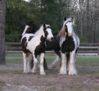 Sweet Girl, 2002 imported Gypsy Vanner Horse mare