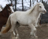 Gold Dust of Lexlin, 2008 imported Gypsy Vanner Horse mare