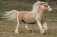 Golden Hope, 2002 imported Gypsy Vanner Horse mare