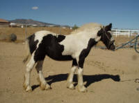Gold Rush's Gwenivere, 2006 Gypsy Vanner Horse mare