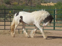 RRTF Goya, 2006 Gypsy Vanner Horse filly