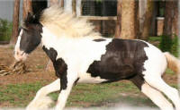 Grace, 2004 Gypsy Vanner Horse filly