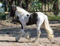 Grace, Gypsy Vanner Horse filly