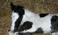 WR Pie's Mourning Grace, 2007 Gypsy Vanner Horse filly