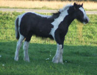 Gracie, 2007 Gypsy Vanner Horse filly