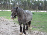 Gracie, imported Gypsy Vanner Horse mare