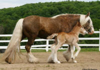 Apple Acre Great Garbo, 2010 Gypsy Vanner Horse mare