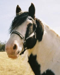 Guinness, imported Gypsy Vanner Horse stallion
