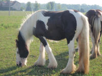 WW Gwenaviere, 2009 Gypsy Vanner Horse filly
