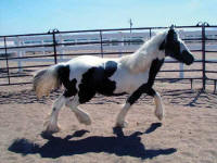 Gwenivere, 2006 Gypsy Vanner Horse mare
