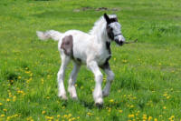 Kastle Rock's Gwyneth, 2014 Gypsy Vanner Horse filly