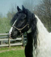 Gypsy, imported Gypsy Vanner Horse mare
