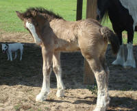 VVF Bodacious, 2009 Gypsy Vanner Horse colt