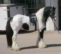 Gypsy King, imported Gypsy Vanner Horse stallion at Equine Affaire Ohio 2003