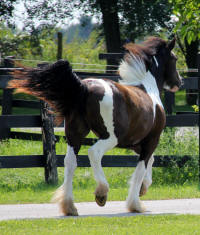 Kastle Rock Gypsy Rose, 2012 Gypsy Vanner Horse mare