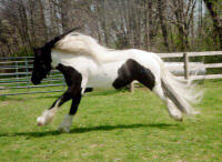 The King's Gypsy Princess, 1997 imported Gypsy Vanner Horse mare