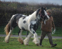 Hailey, 2006 imported Gypsy Vanner Horse mare