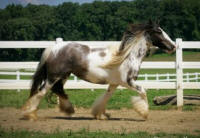Hailey of Lexlin, 2006 Gypsy Vanner Horse mare