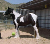 Halcyon, imported Gypsy Vanner Horse filly