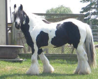Halo's Pride, 2004 imported Gypsy Vanner Horse gelding