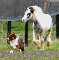Mill Cave Happy Hour, 2015 Gypsy Vanner Horse colt