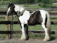 Harlequin Princess, 2001 Gypsy Vanner Horse mare
