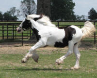 High Valley Miss Lily, 2006 Gypsy Vanner Horse filly