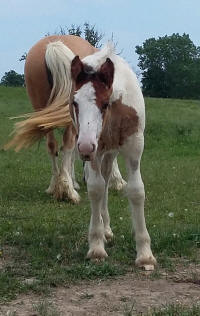 RGR Honey Boo Boo, 2016 Gypsy Vanner Horse filly