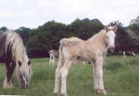 Brishim del Avgin, imported Gypsy Vanner Horse filly