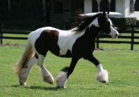 WR Hoochie, 2007 Gypsy Vanner Horse mare