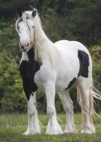 OnceUponA Hopeful Romantic, 2010 Gypsy Vanner Horse mare