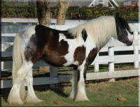 Huston, imported Gypsy Vanner Horse stallion