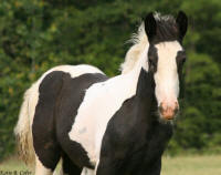 BPF Once In A Blue Moon, 2007 Gypsy Vanner Horse filly