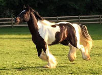 Feathered Gold Impeccable Impression, 2012 Gypsy Vanner Horse gelding