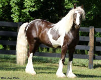 Imperial's Midnight Chrome, 2014 Gypsy Vanner Horse colt