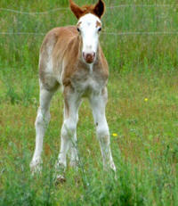 Feathered Gold Imperial Red, 2016 Gypsy Vanner Horse colt