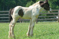 King's Little Miss Independence, 2011 Gypsy Vanner Horse filly