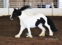 King's Little Miss Independence, 2011 Gypsy Vanner Horse mare
