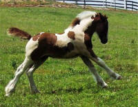 Rivendell Iona, 2009 Gypsy Vanner Horse filly