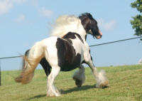 North Hollow Irish Lace, 2000 imported Gypsy Vanner Horse mare