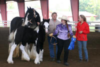 Northern Lights Royal V Jackpot, 2009 Gypsy Vanner Horse filly
