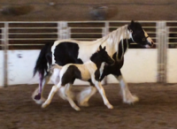 MV Moves Like D'Jagger, 2015 Gypsy Vanner Horse colt