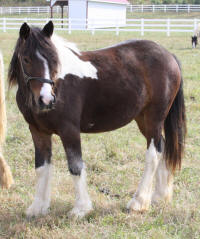Janice, 2008 Gypsy Vanner Horse filly