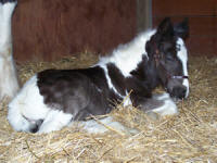 Feathered Gold Jasmyn, 2007 Gypsy Vanner Horse filly