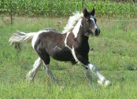 Feathered Gold Jasymn, 2007 Gypsy Vanner Horse filly