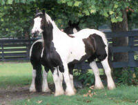 Jasmine, 1996 imported Gypsy Vanner Horse mare