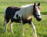 Jenny, 2008 imported Gypsy Vanner Horse filly