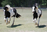 Oakfield Jessie, 2000 imported Gypsy Vanner Horse mare