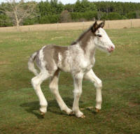 Feathered Gold Jetta, 2014 Gypsy Vanner Horse filly