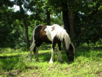 Thorn Hill Timone's Jewel, 2008 Gypsy Vanner Horse filly